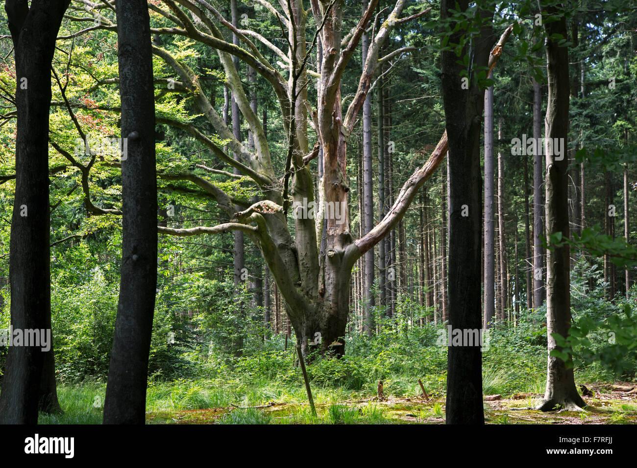 Alte Buche (Fagus Sylvatica) unter Pinien im Mischwald Stockbild