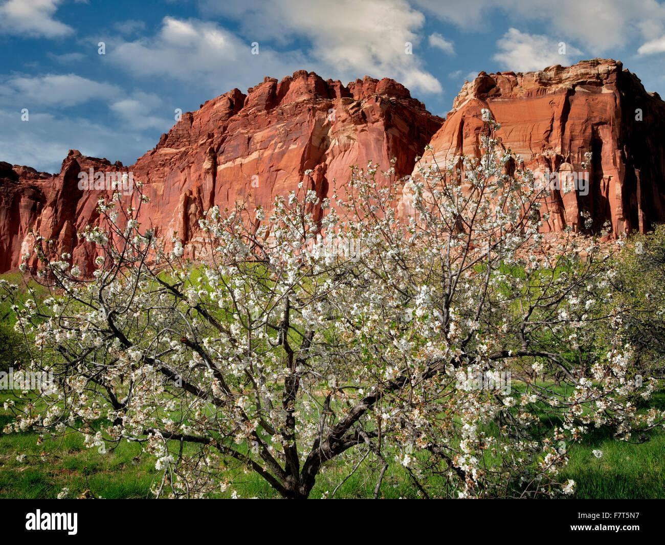 Apfelblüten und Klippen. Fruita, Capitol Reef National Par, k. Utah Stockbild