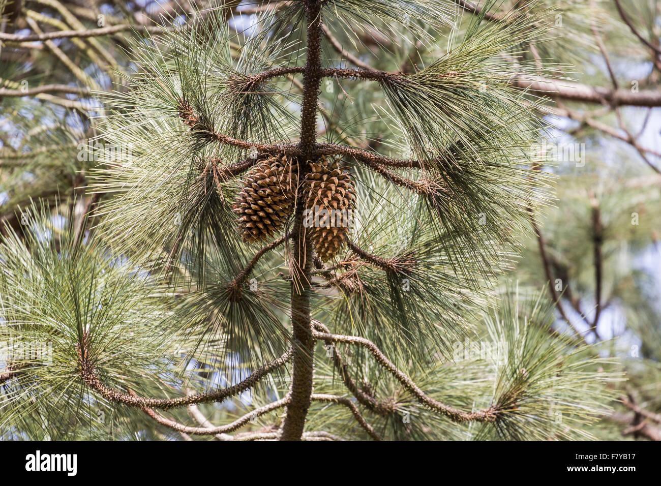 Pinus coulteri einem champion baum am rhs g rten wisley - Kiefer baum kaufen ...