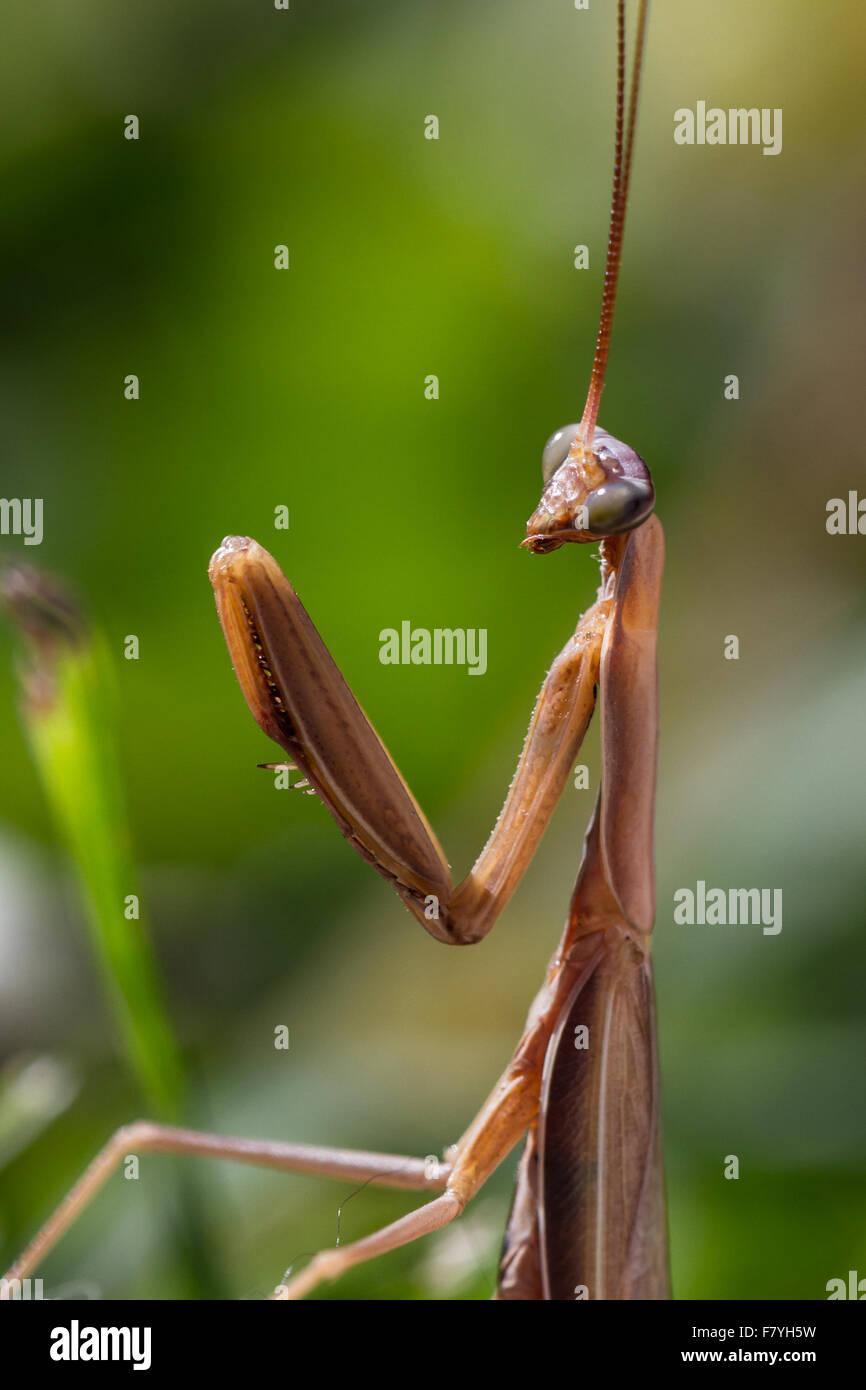 Nahaufnahme von eine braune Gottesanbeterin über grünen Rasen Stockbild