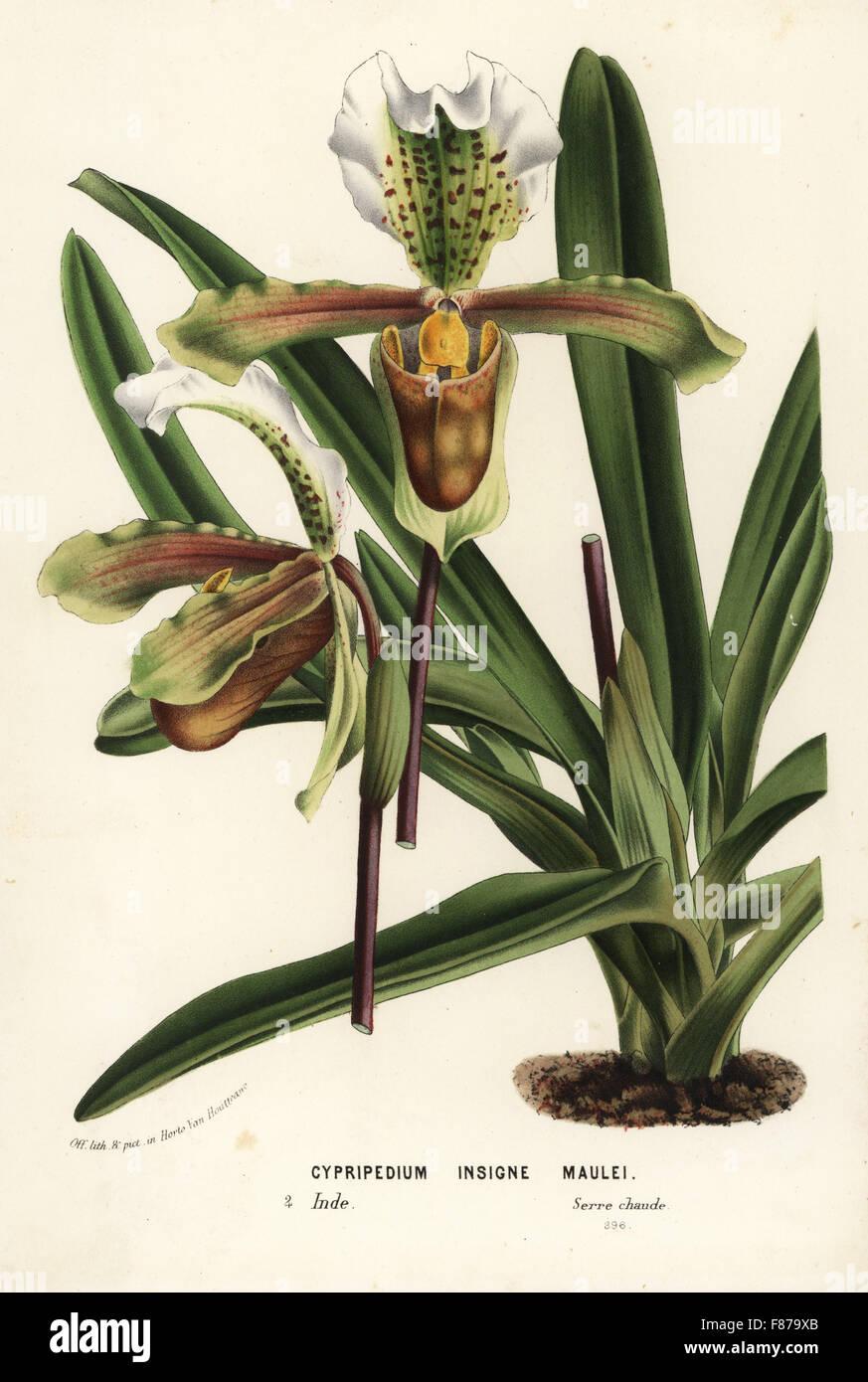 Paphiopedilum Insigne Orchidee (Cypripedium Insigne Maulei ...