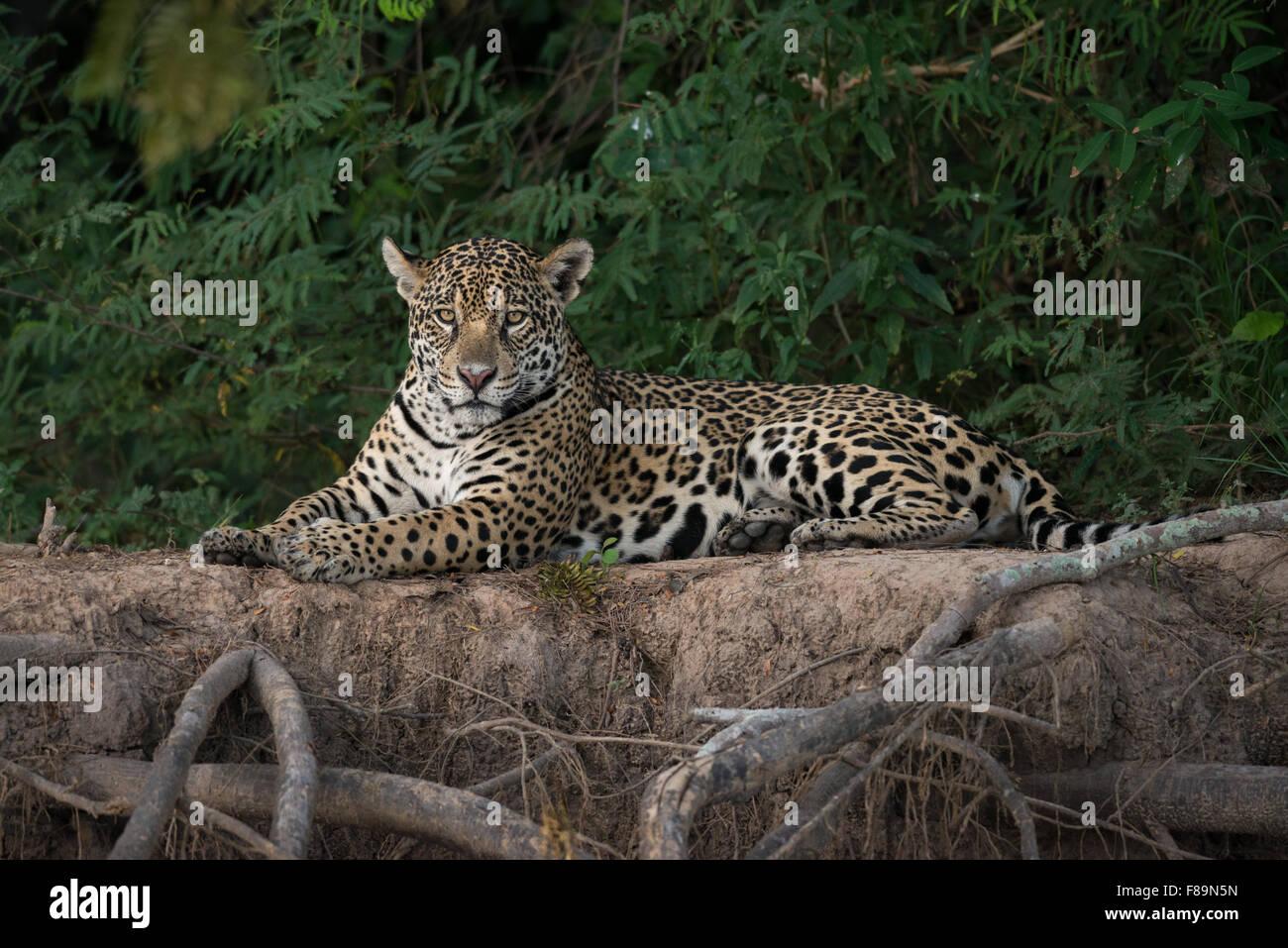Ein Jaguar aus dem Pantanal Stockbild
