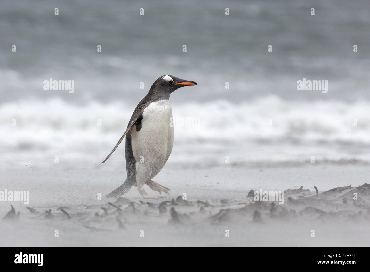 Gentoo Penguin Stockbild