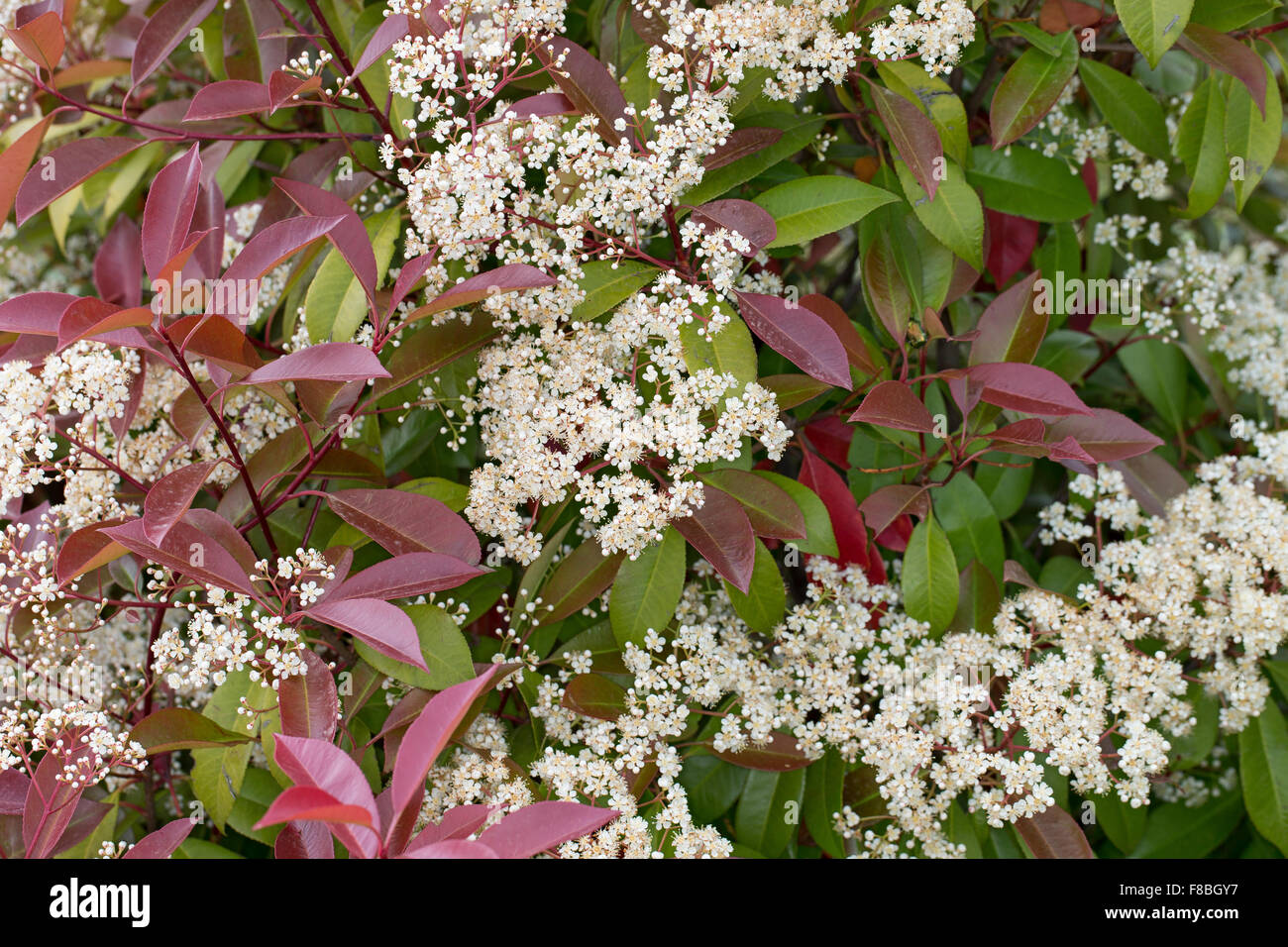 photinia stockfotos photinia bilder alamy. Black Bedroom Furniture Sets. Home Design Ideas
