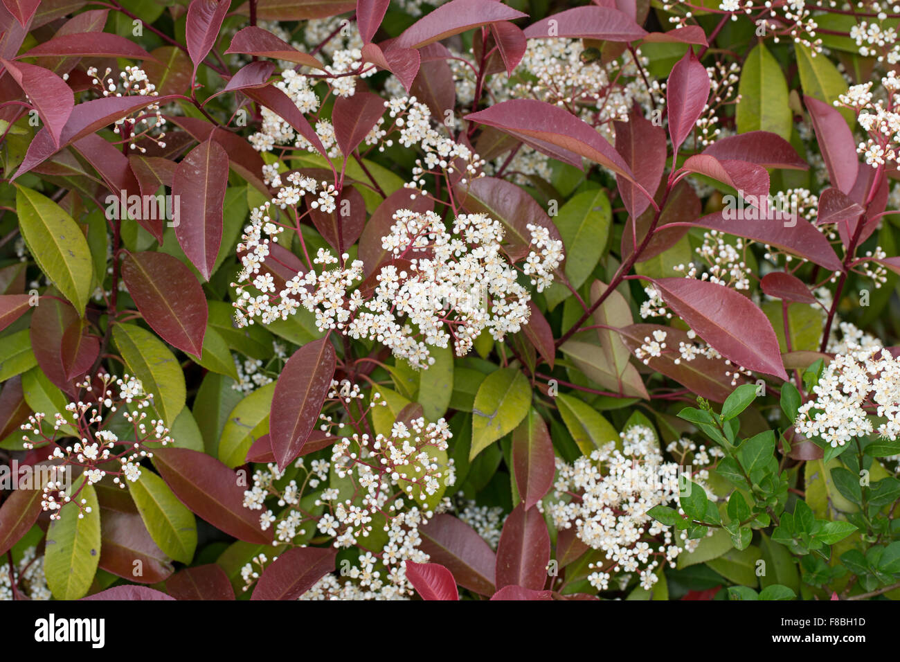 photinia fraseri red robin stockfotos photinia fraseri red robin bilder alamy. Black Bedroom Furniture Sets. Home Design Ideas
