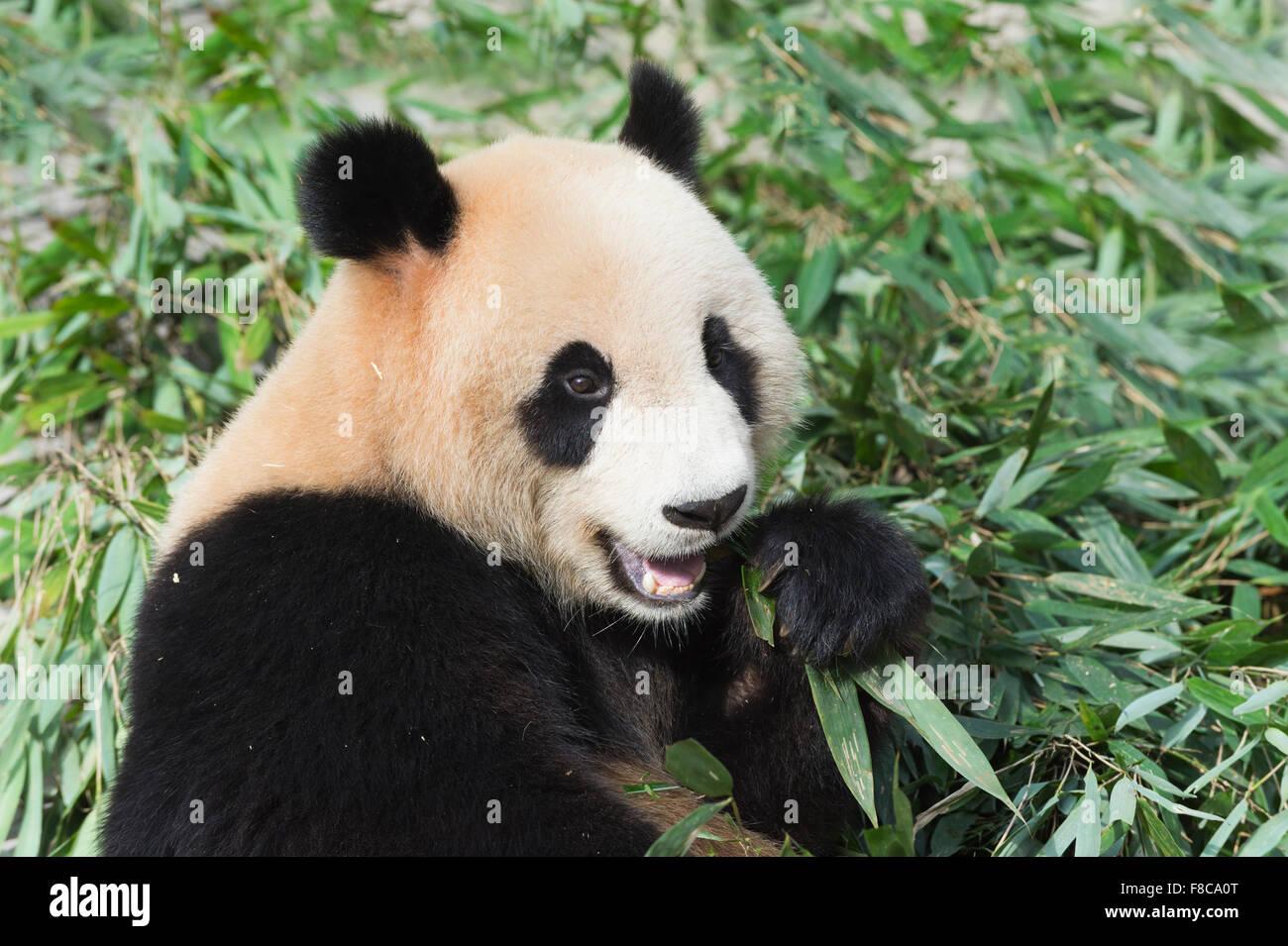 Erwachsenen Grosser Panda Ailuropoda Melanoleuca Essen Bambus