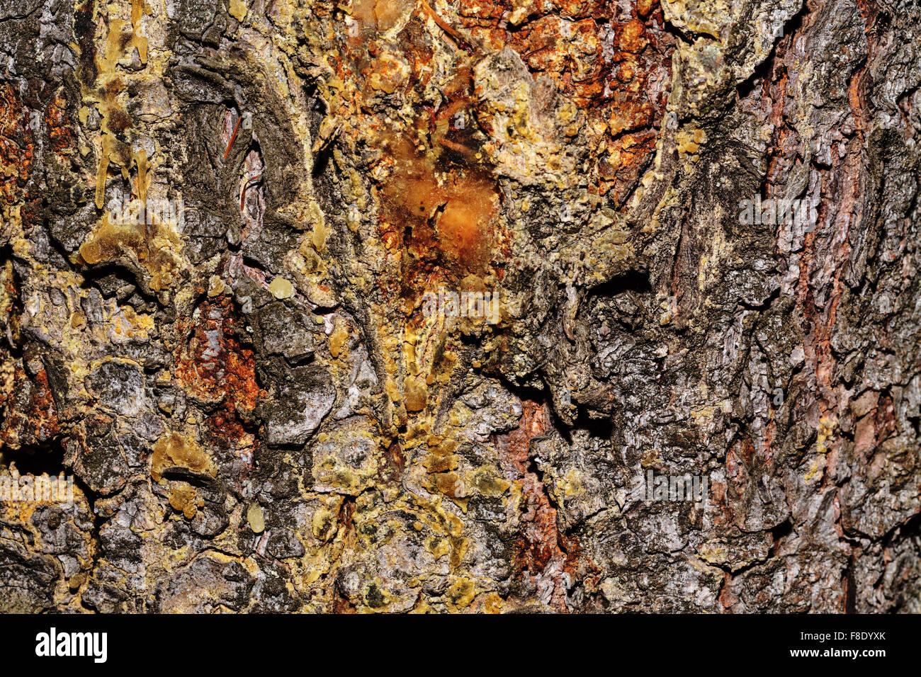Kiefer Rinde Hintergrund. Unbehandeltes Holz. Grunge Texturen. Stockfoto