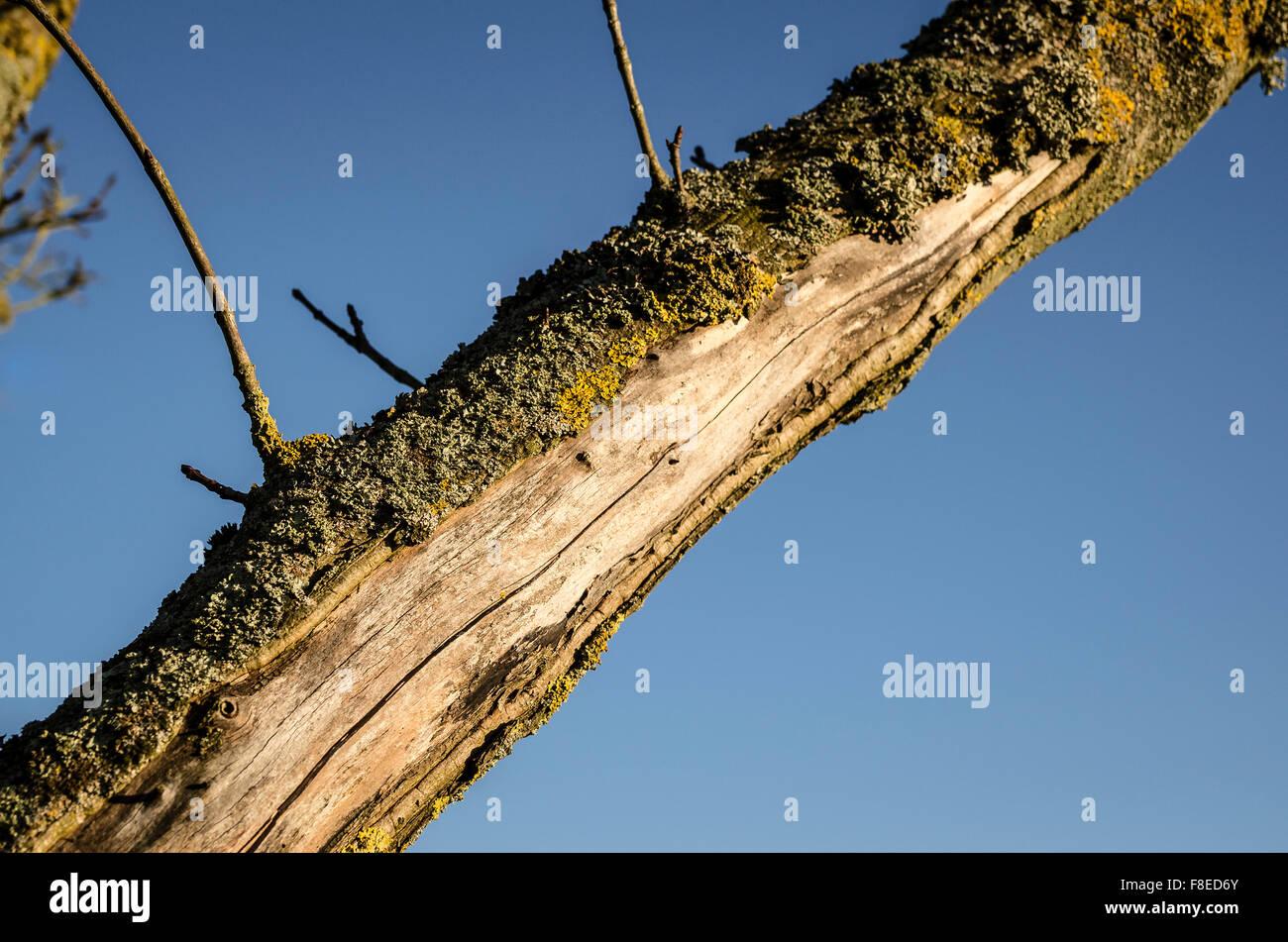 Betroffenen Ahorn Zweig zeigen verloren Rinde Stockbild