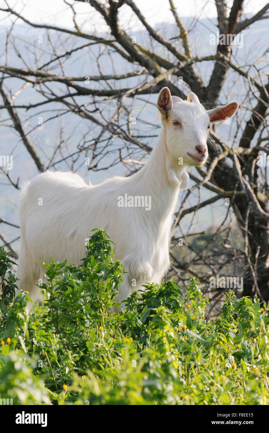 Nanny ist ein typisches Tier der Cilento Fauna, laufen im Park, Essen Kraut, es mag nicht lange beobachtet. Stockbild