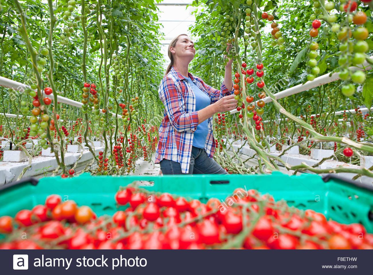 Zuchter Inspektion Und Ernte Reifer Rotwein Tomaten Im Gewachshaus