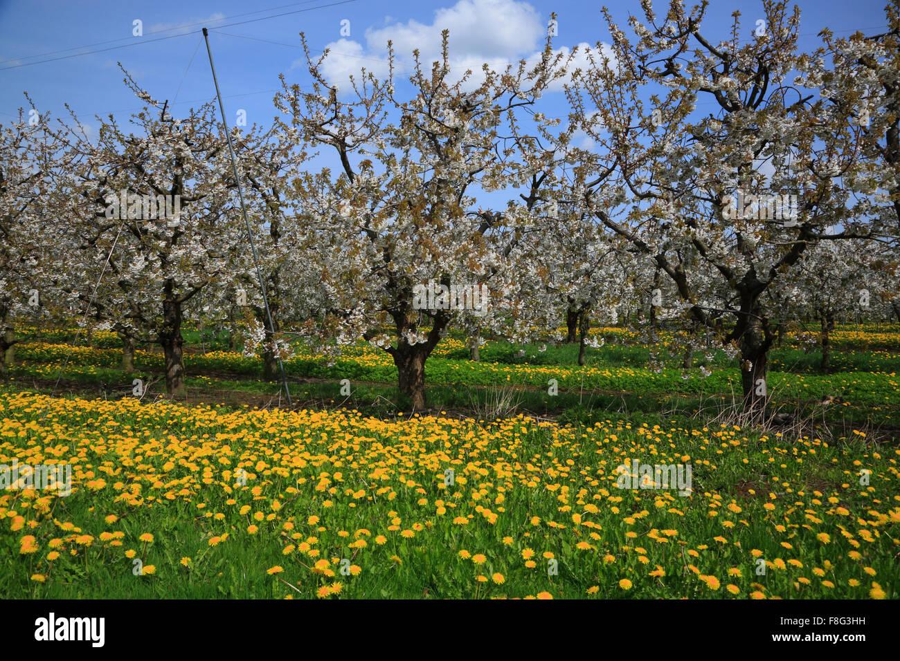Kirschblüte in Jork, Altes Land, Olds Land, Niedersachsen