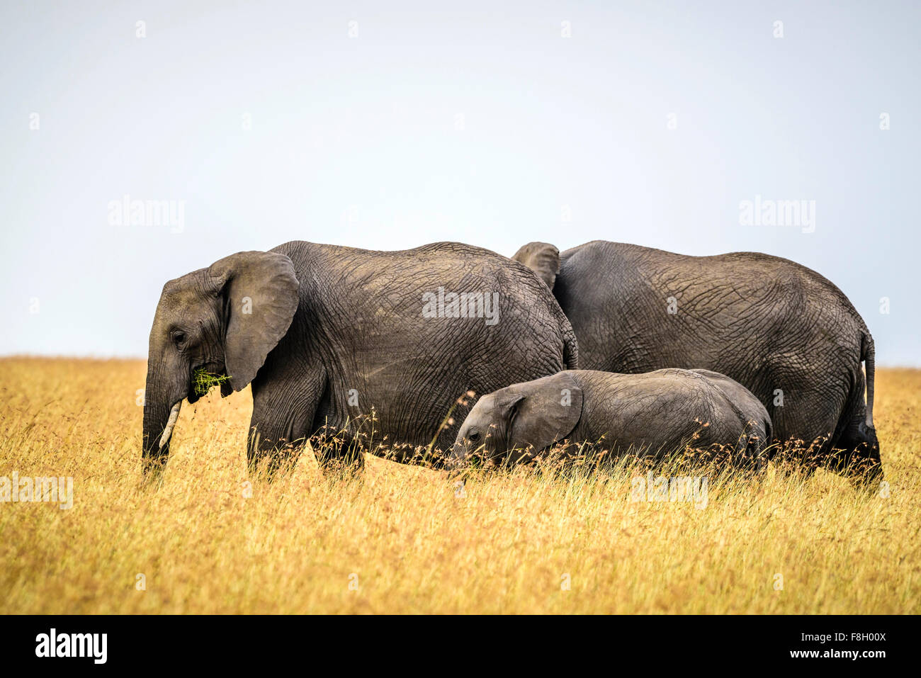 Elefanten und Kalb in Savanne wandern Stockbild