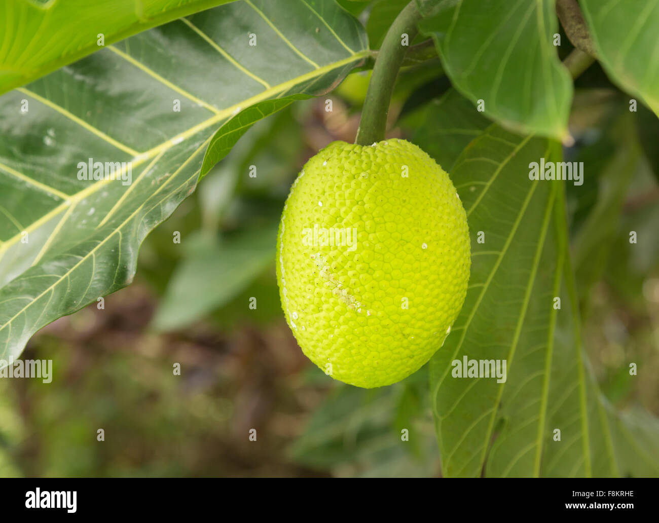 Brotfrucht Obstbau auf Baum in Plantage auf Kauai, Hawaii Stockbild