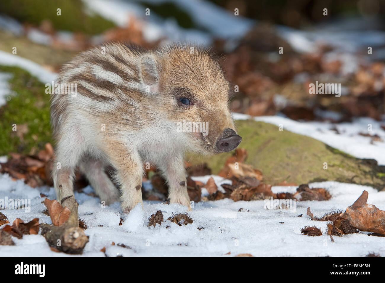 Wildschwein, Schwein, junge Wildschwein, Wildschwein, Schwarzwild, Frischling, Winter, Schnee, Jungtier, Tierbaby, Stockbild