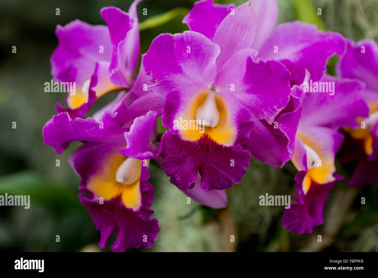 Hawaiian Charisma (Rhyncholaeliocattleya) Orchideen Blumen Stockbild