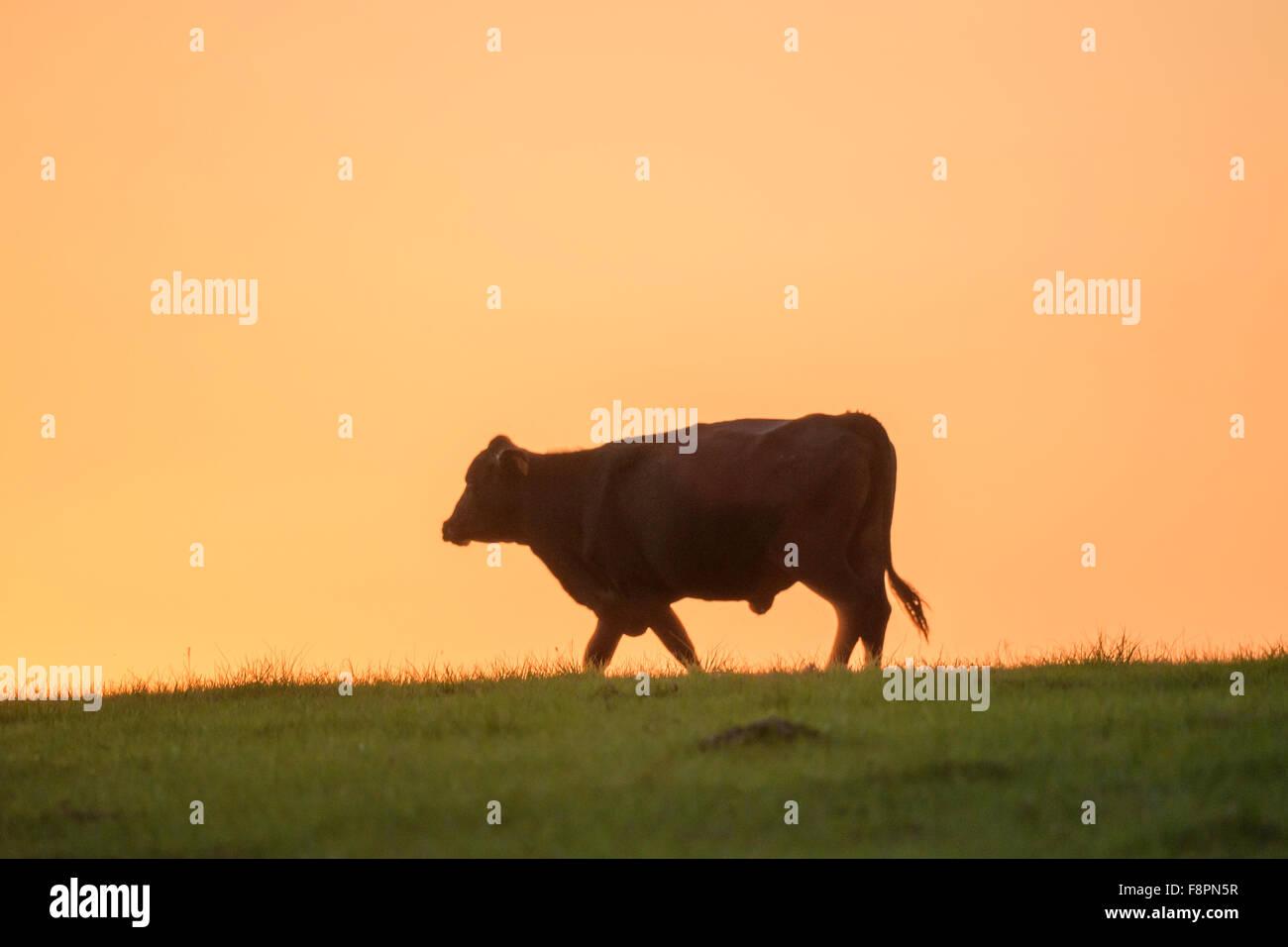 Angus-Rinder gegen Horizont bei Sonnenuntergang Stockbild
