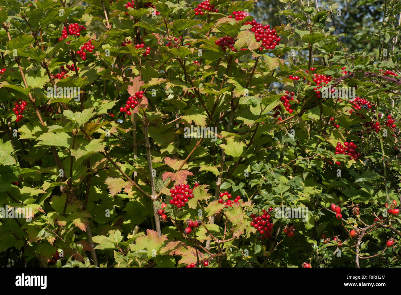 reife rote beeren auf einem guelder rose baum viburnum opulus in eine hecke im fr hherbst. Black Bedroom Furniture Sets. Home Design Ideas
