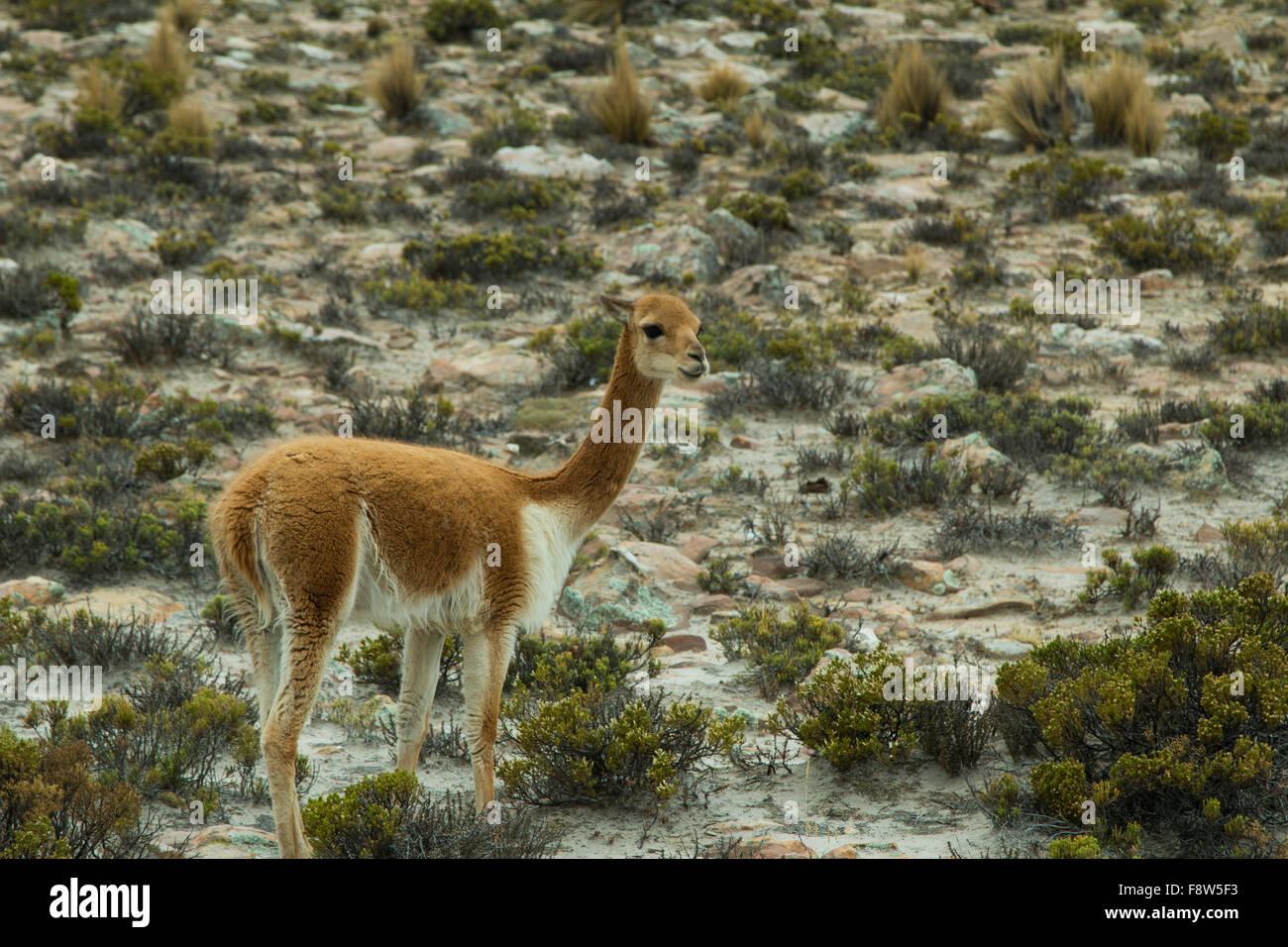 Altiplano alpaca stockfotos altiplano alpaca bilder for Kleine esstisch gruppe