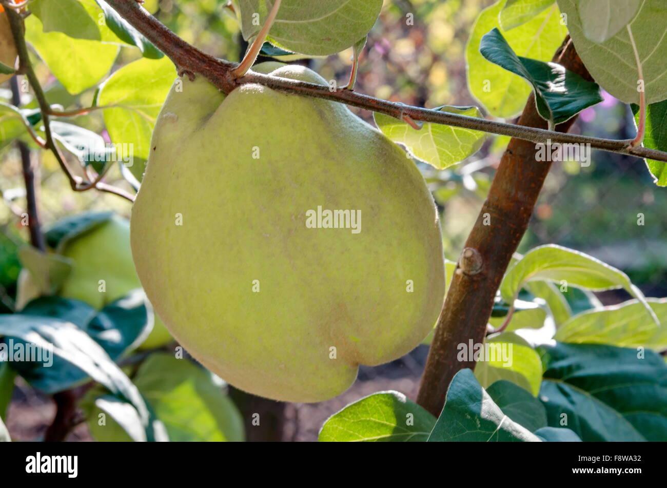 Quitte Baum und Frucht im Garten, Bulgarien Stockbild