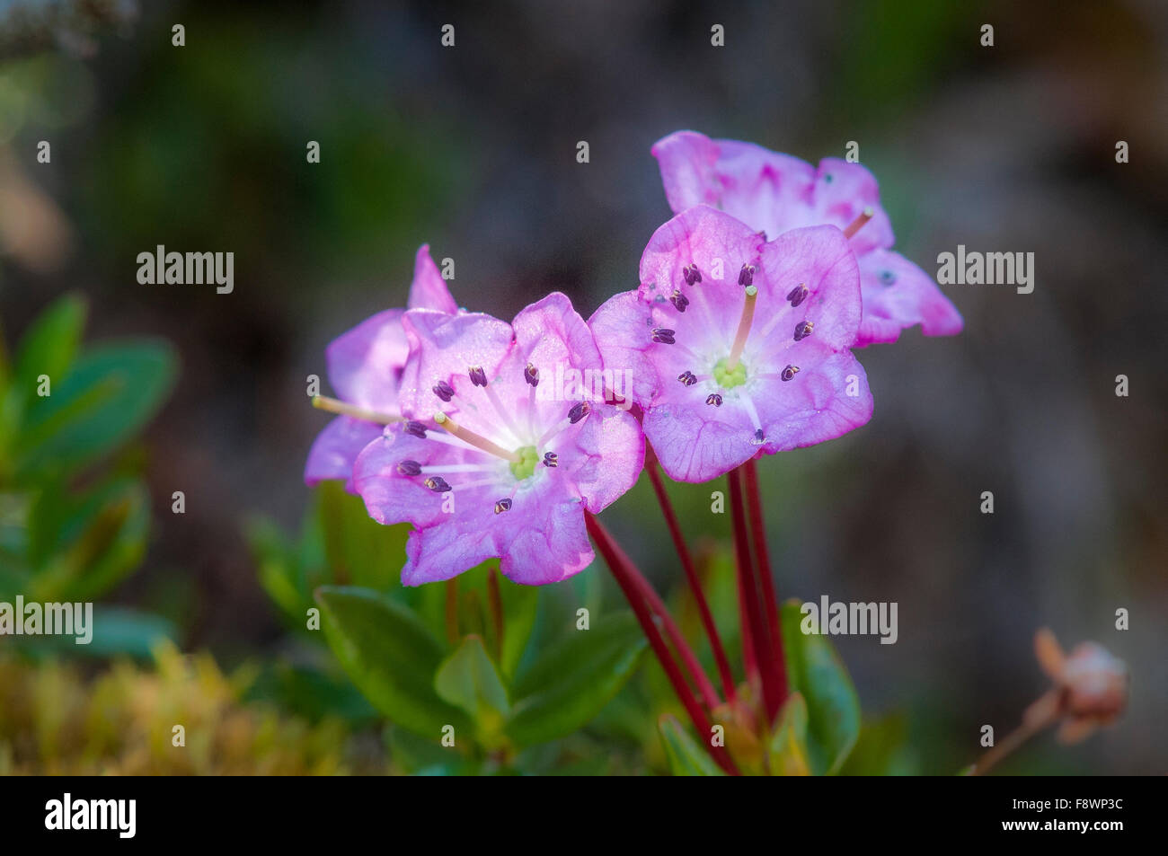 Moor-Lorbeer, Kalmia Microphylla, Stockbild