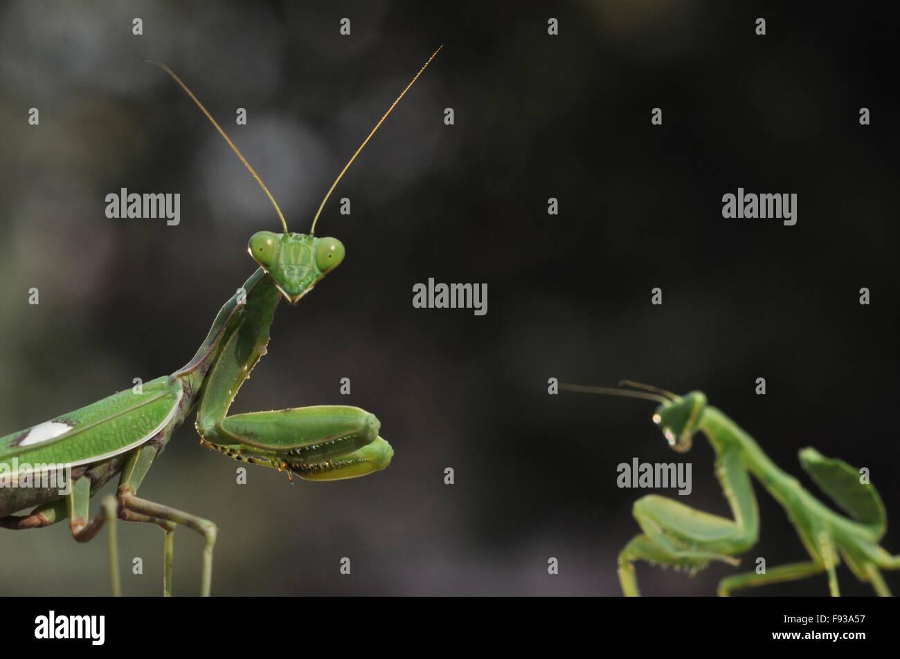 Zwei grünliche Farbe Gottesanbeterin, Mantodea (Gottesanbeterinnen, Mantes) im dunklen Hintergrund in Spiellaune Stockbild