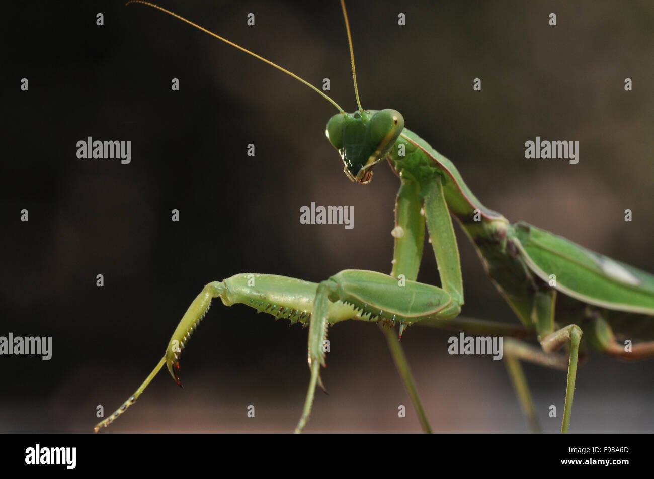 Ein Erwachsener Gottesanbeterin, Mantodea (Gottesanbeterinnen, Mantes) im dunkel grünlich Hintergrund in Spiellaune Stockbild