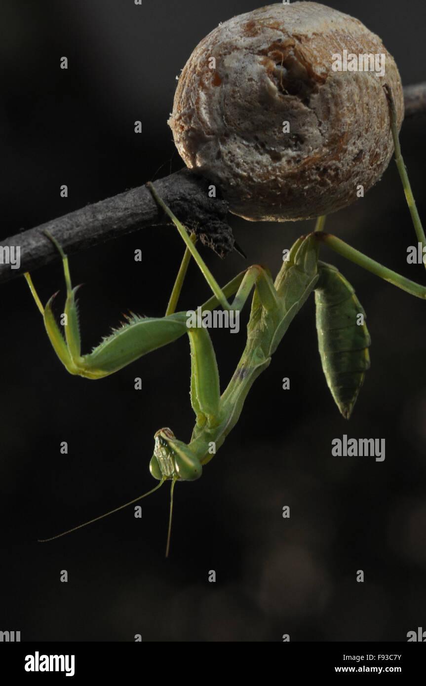 Ein Erwachsener Gottesanbeterin, Mantodea (oder Gottesanbeterinnen, Mantes) gerade nach unten aus einem kleinen Stockbild