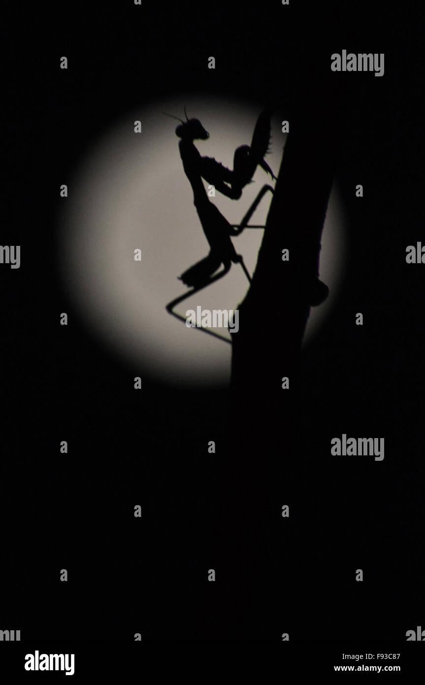 Seitenansicht der Gottesanbeterin, Mantodea (oder Gottesanbeterinnen, Mantes) in Ruhestellung in Vollmond-Nacht, Stockbild
