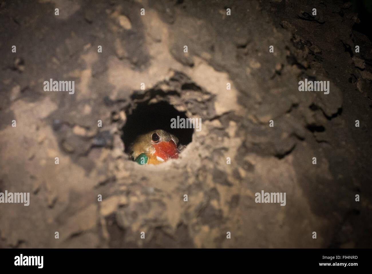 Eisvogel Vogel in einem Loch im Baum als sein Nest. Stockbild