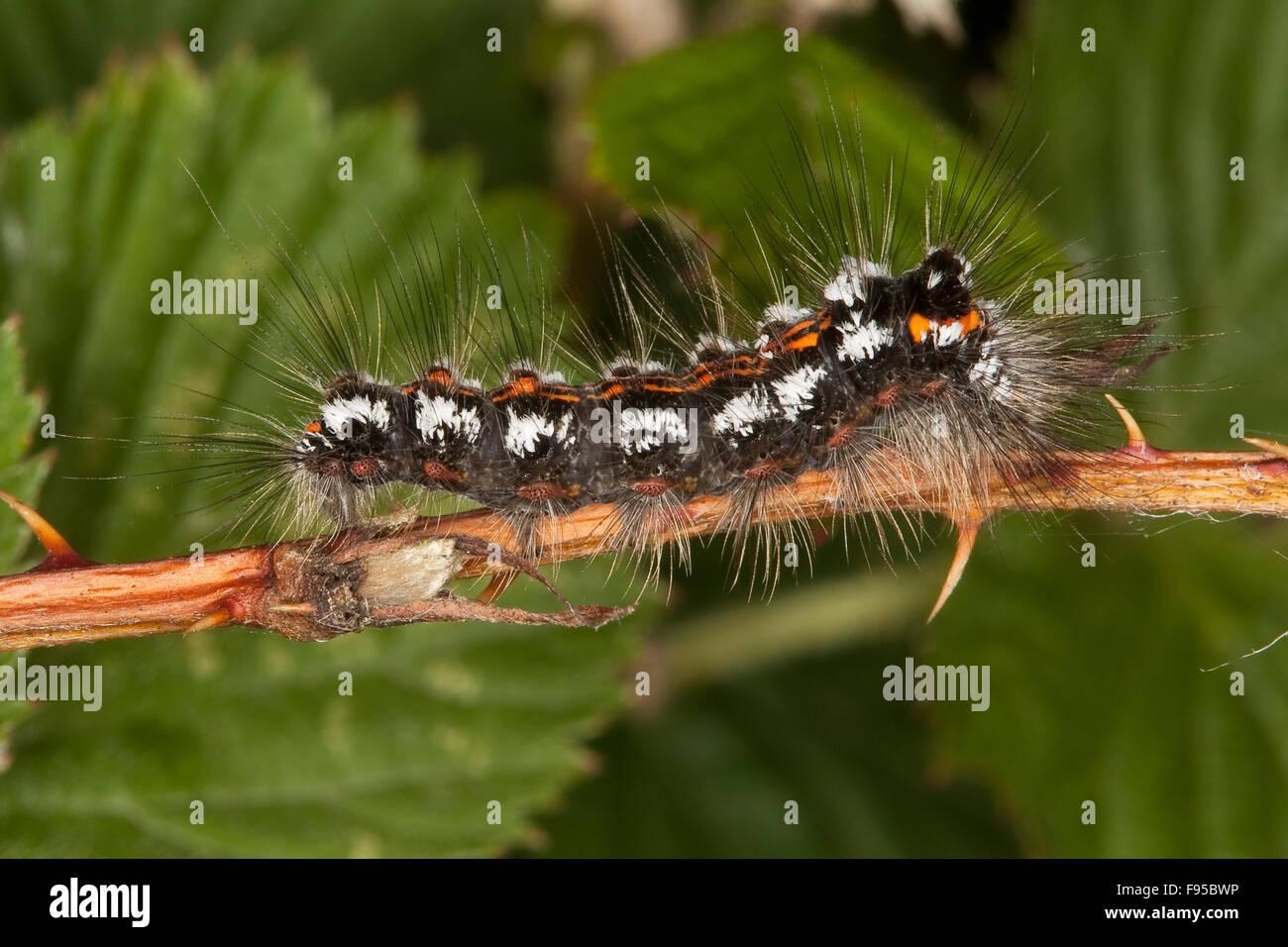 Gelb-Tail, Gold-Tail, Raupe, Schwan, Raupe, Euproctis Similis, Porthesia Similis, Sphrageidus Similis Stockbild