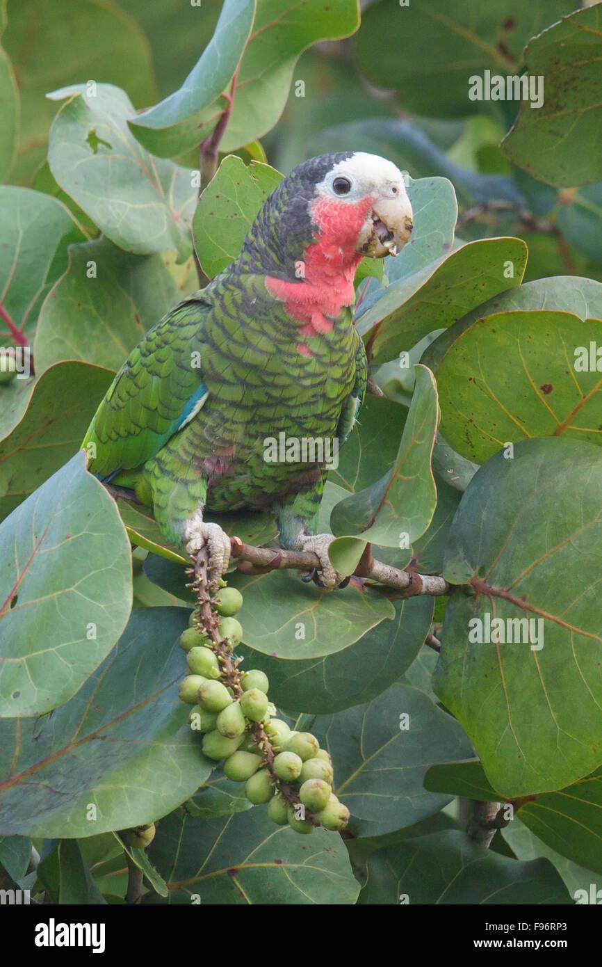 Kubanische Papagei (Amazona Leucocephala) thront auf einem Ast in Kuba. Stockbild