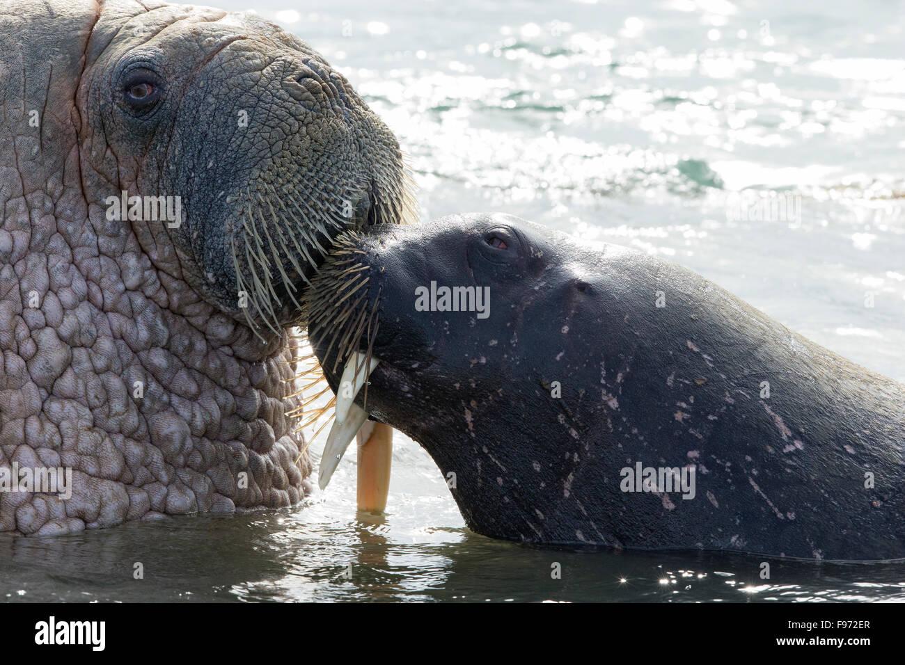 Atlantische Walross (Odobenus Rosmarus Rosmarus), (mit gebrochenen Tusk), kuschelte, Andréetangen Landzunge, Stockbild