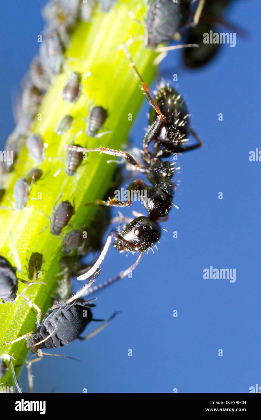 Rossameise (Camponotus Piceus) Erwachsene Arbeitnehmer tendenziell Blattläuse an einem Stiel. Causse de Gramat, Stockbild