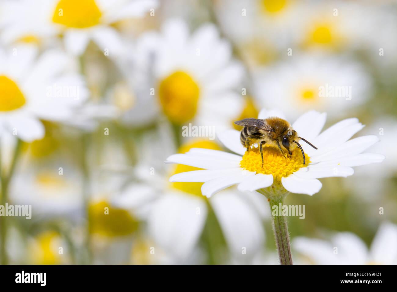 Bare-gesattelt Colletes oder Gipser Bee (Colletes Similis) Männchen ernähren sich von stinkende Kamillenblüten Stockbild