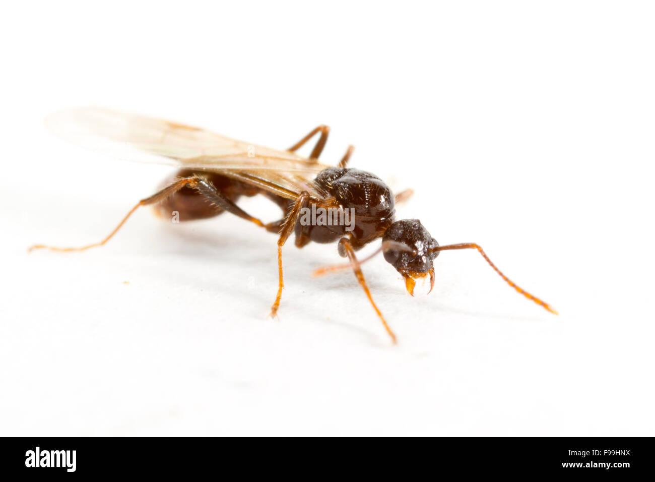 Red Ant (Myrmica Rubra) Männchen vor weißem Hintergrund fotografiert. Powys, Wales. August. Stockbild
