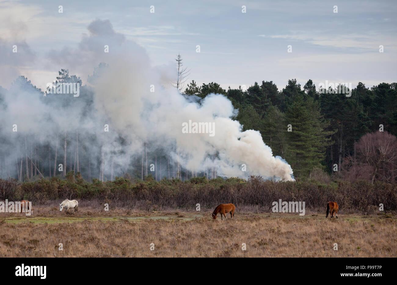 Rauch aus der kontrollierten Verbrennung im New Forest verwendet, um den Wald zu bewirtschaften Stockbild