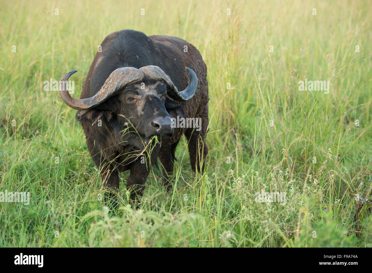 Büffel (Syncerus Caffer Caffer), Kidepo Valley Nationalpark, Uganda Stockbild