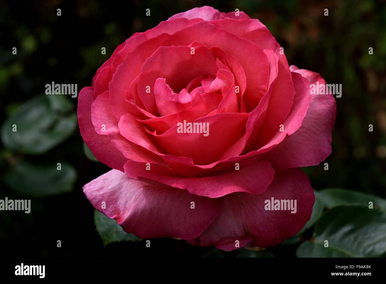 Eine perfekte rote Rosenblüte vor einem dunklen Hintergrund Stockbild