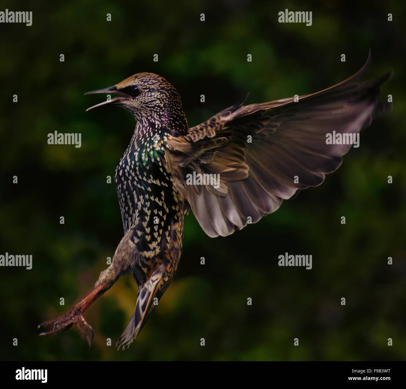 Starling kommen, um auf Hochtouren zu landen. Stockfoto