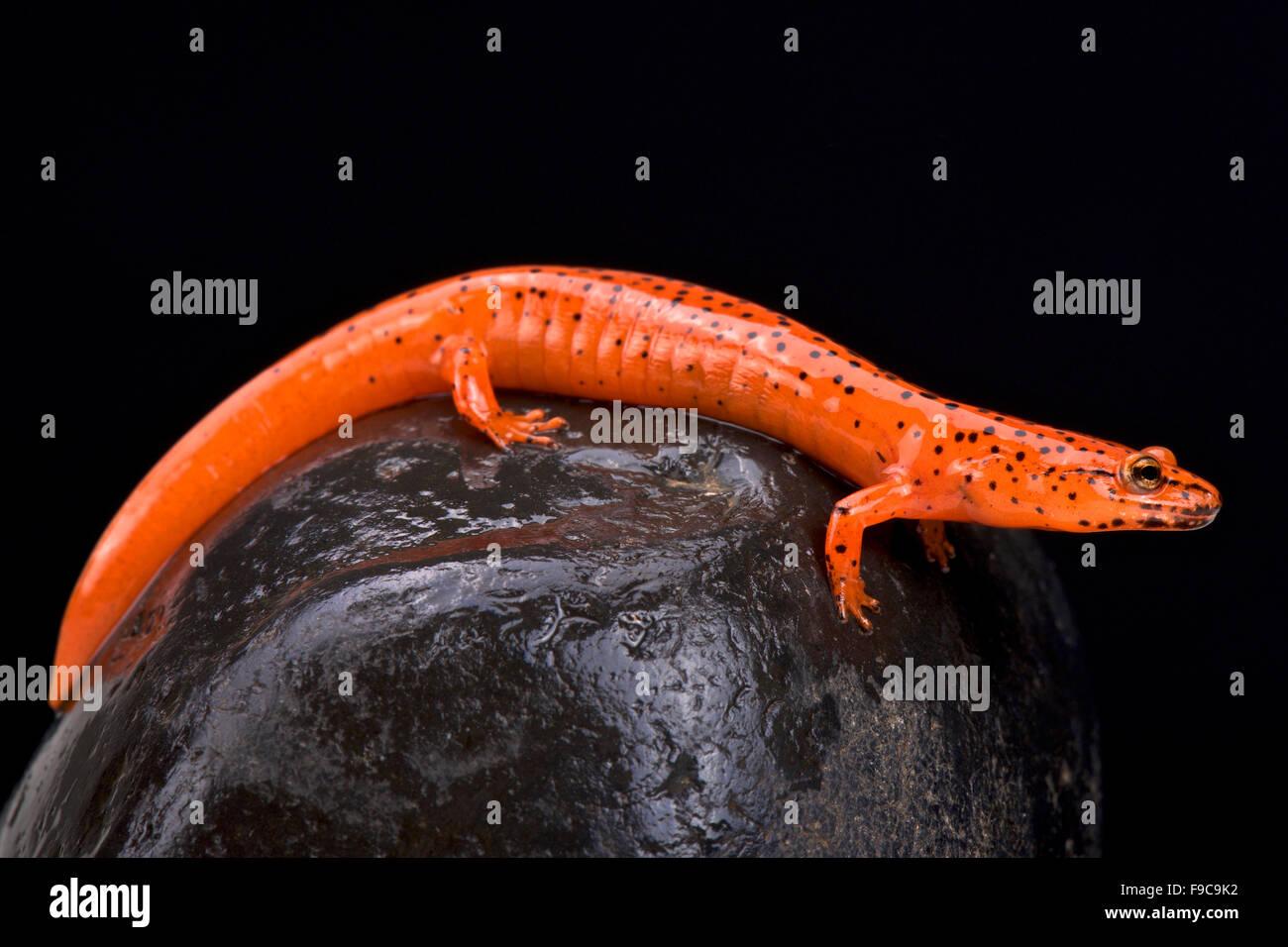 Roten Salamander (Pseudotriton Ruber) Stockbild