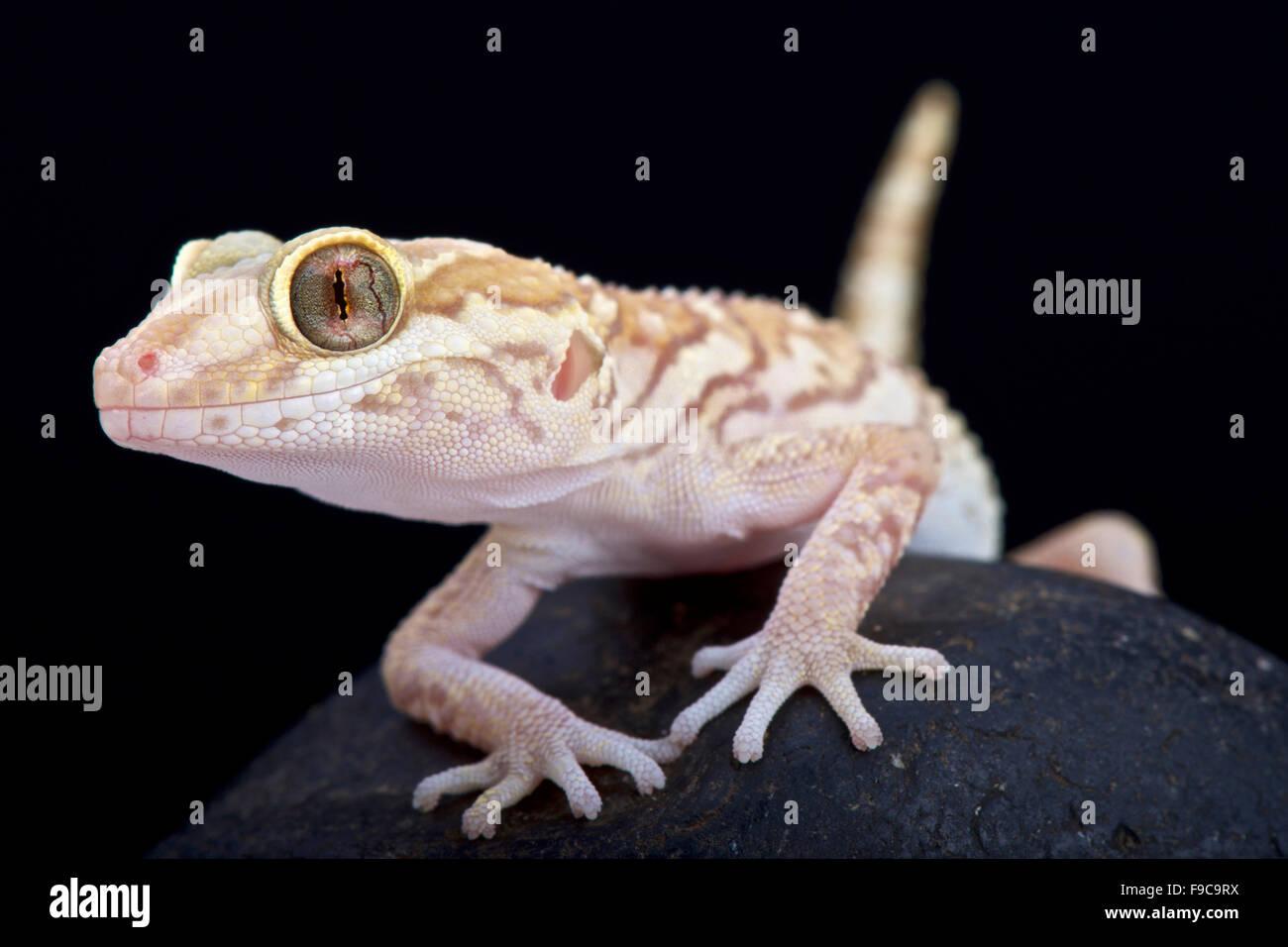 Ozelot Gecko (Paroedura Pictus) Stockbild