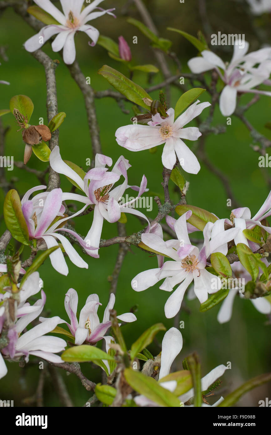 magnolienbaum magnolia tree stockfotos magnolienbaum magnolia tree bilder alamy. Black Bedroom Furniture Sets. Home Design Ideas
