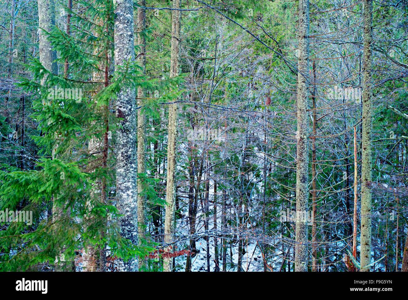 Hintergrund mit verdrehten Ästen in einen Winterwald Stockfoto