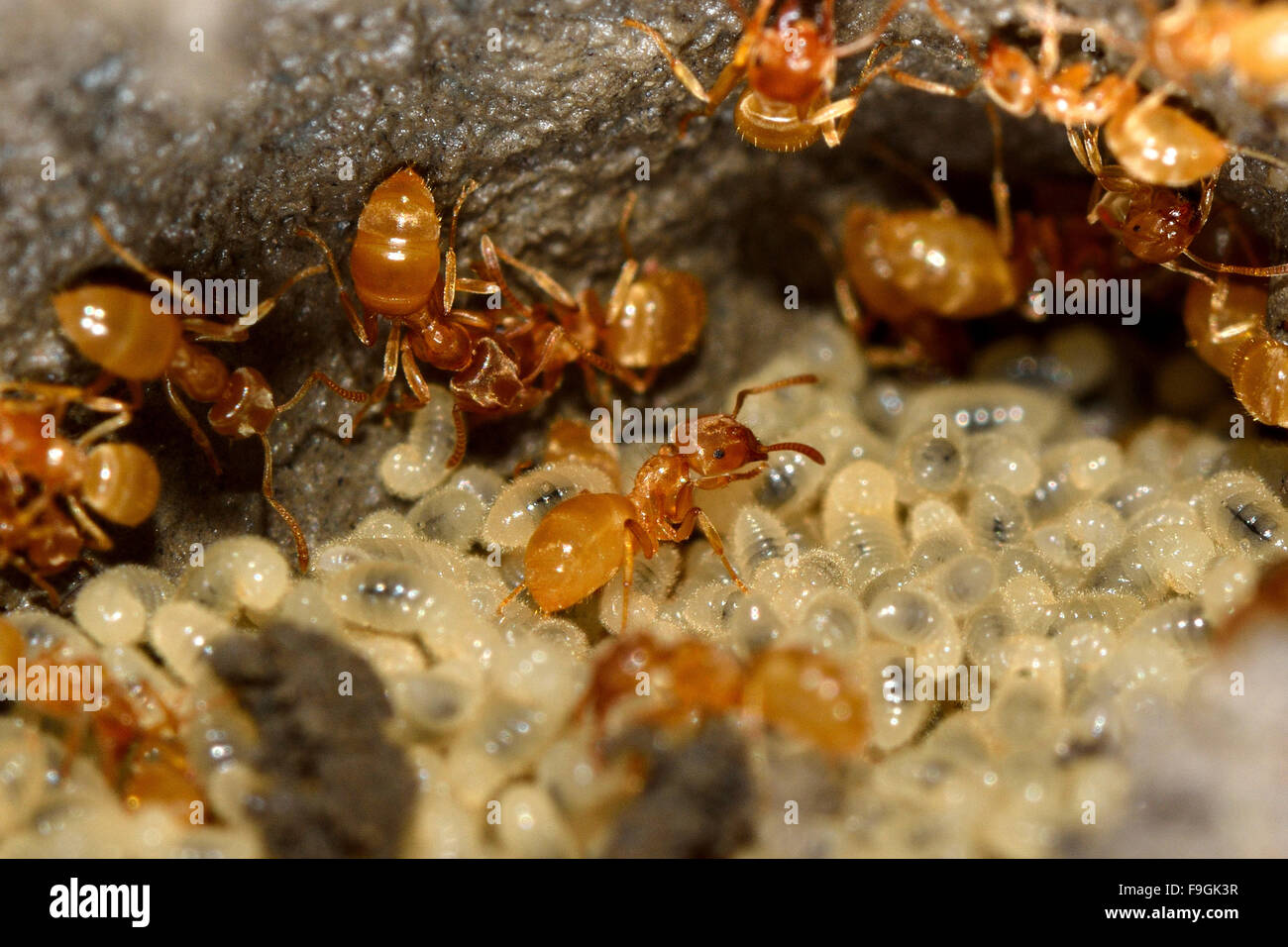 lasius flavus stockfotos lasius flavus bilder alamy. Black Bedroom Furniture Sets. Home Design Ideas