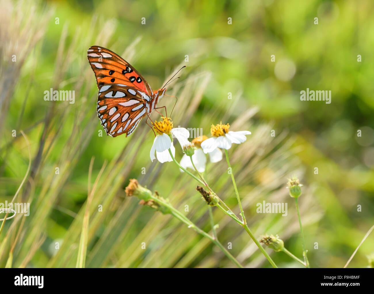 Fritillary Schmetterling auf Wildblumen Stockbild