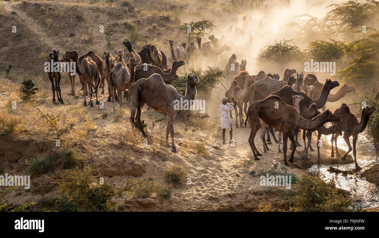 Kamele auf dem Weg nach Pushkar Mela bei Sonnenuntergang, Kamelmarkt, Pushkar, Rajasthan, Indien Stockbild