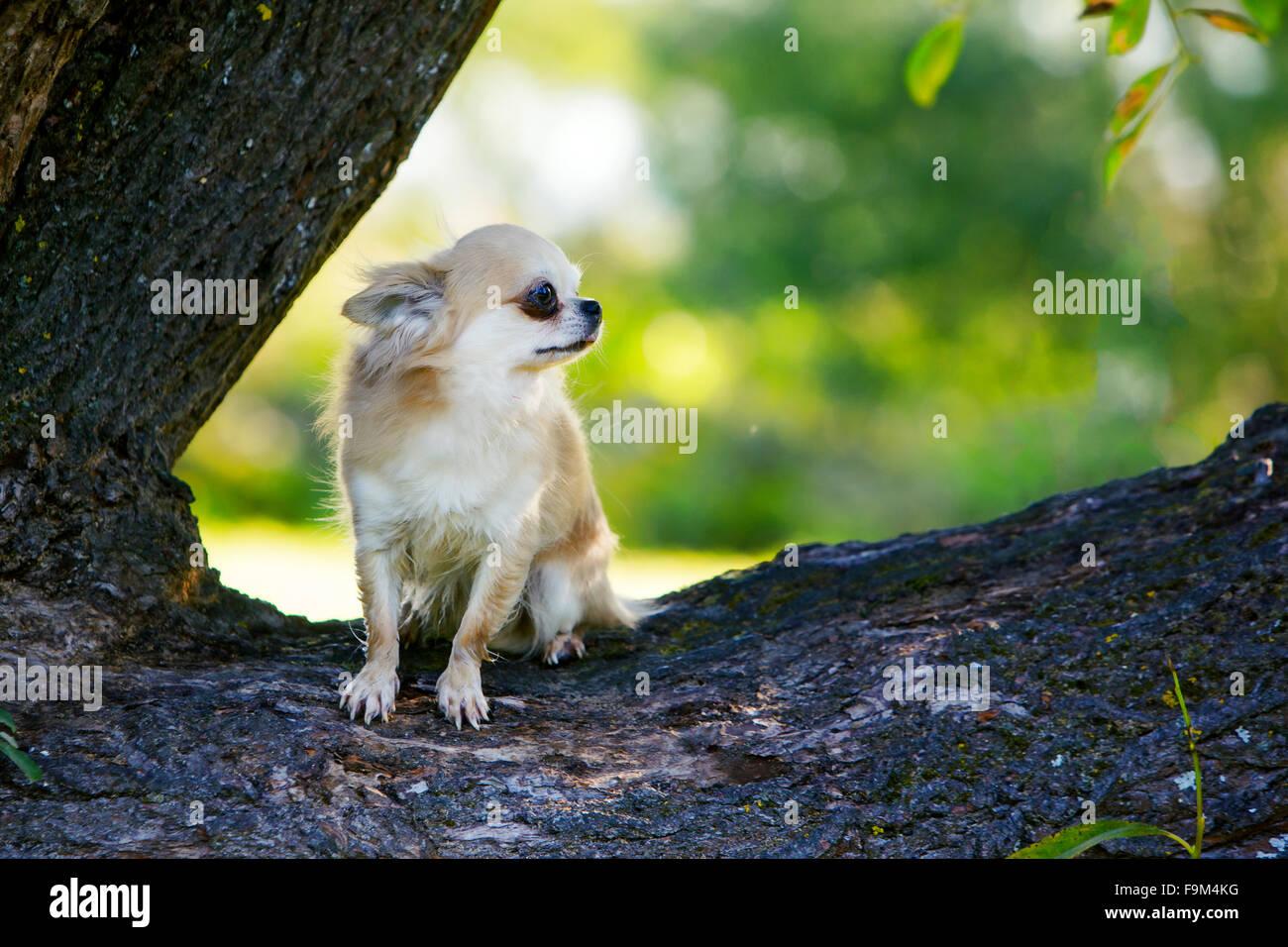 Kleine tapfere Chihuahua versuchen, noch zu bleiben Stockbild