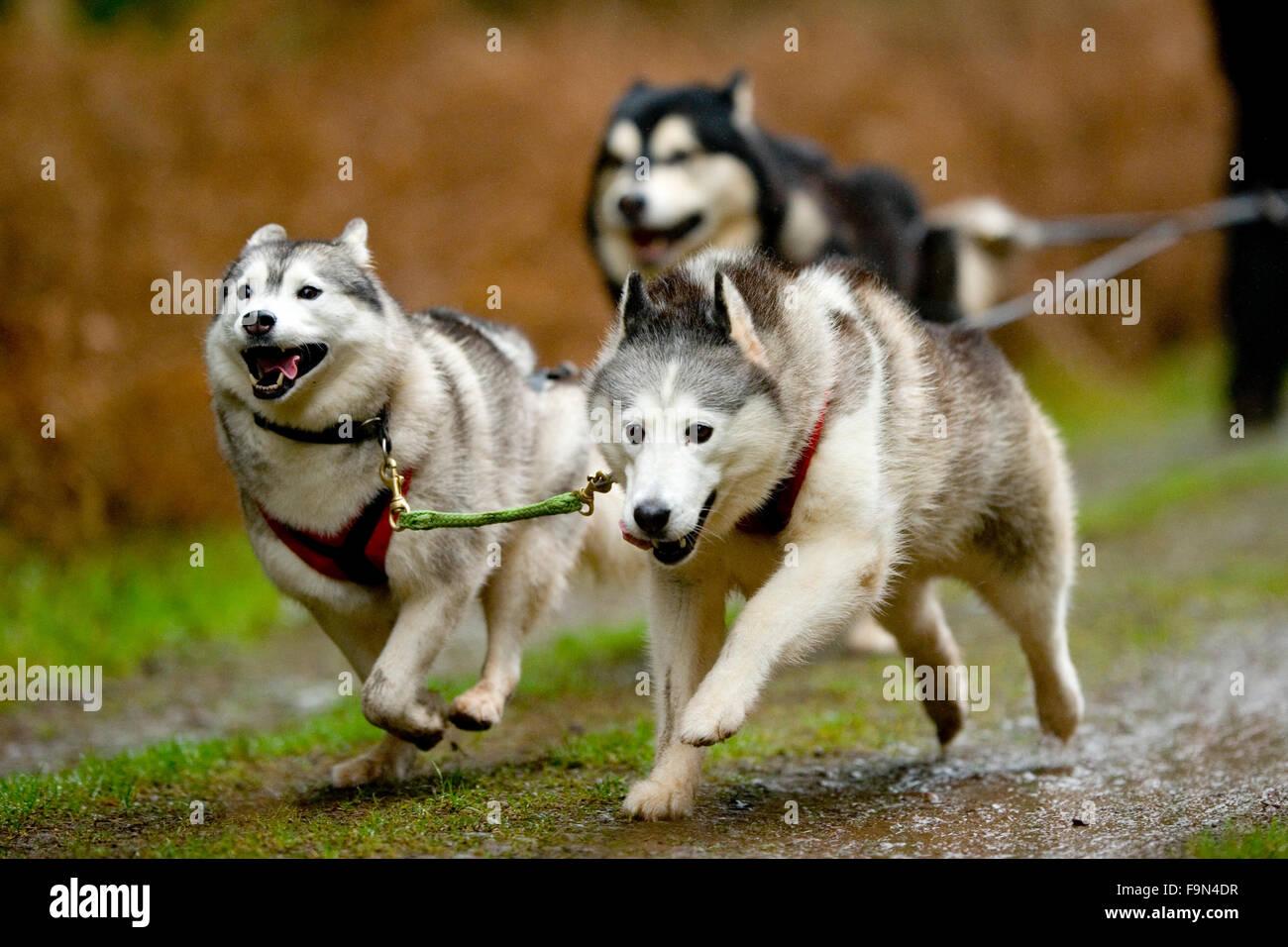 drei Alaskan Malamutes ziehen eine Rig in einem Rennen Stockbild