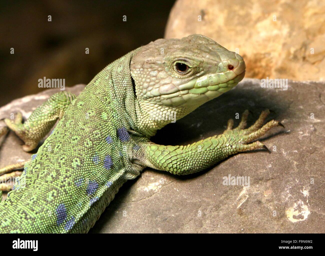 Iberische Ocellated Eidechse (Timon Lepidus, Lacerta Lepida), alias europäische Augen oder Jeweled Eidechse Stockfoto