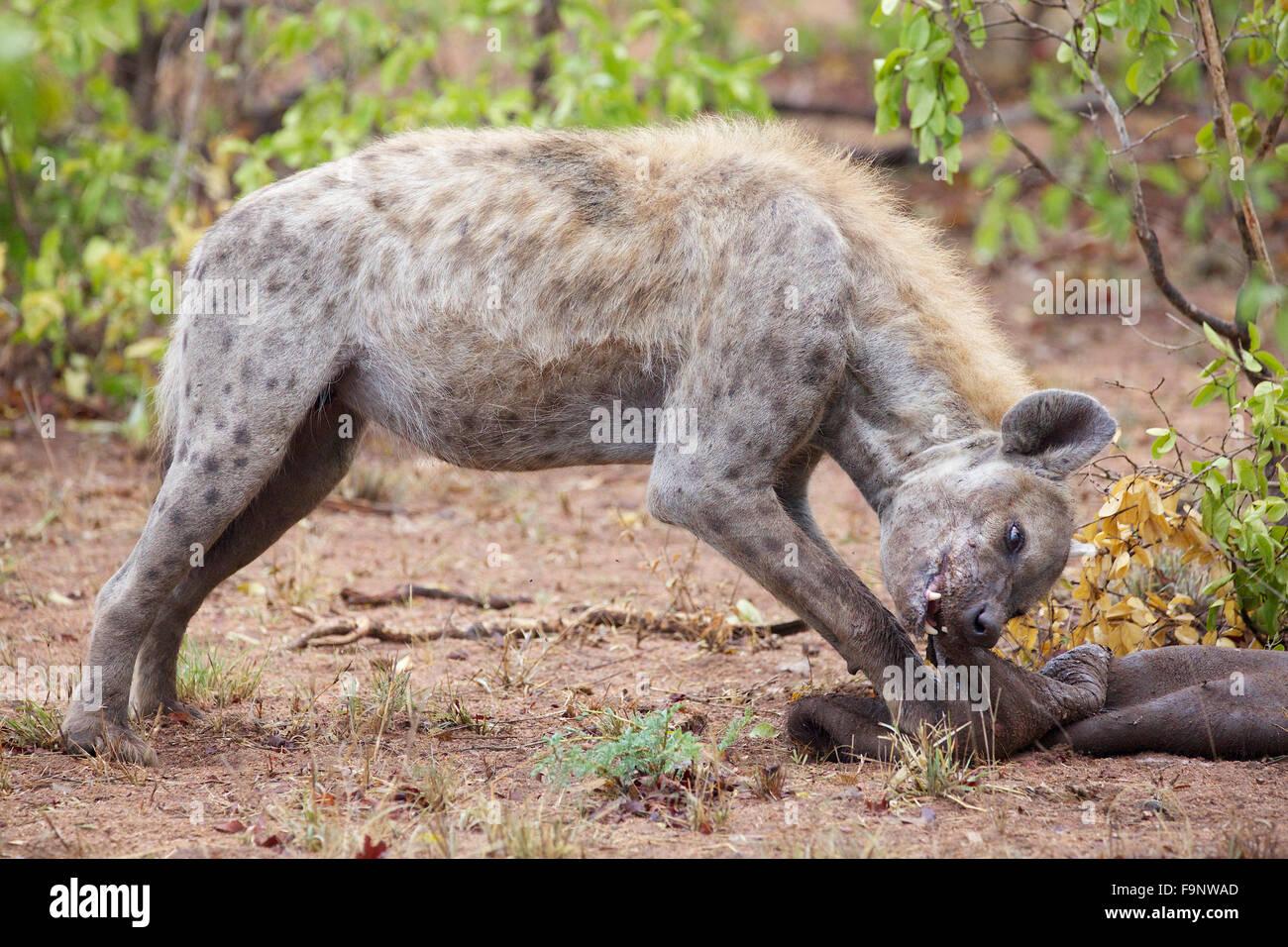 Ein Spotted Hyäne kauen auf die übrig gebliebene Haut eines Büffels durch ein Rudel Löwen getötet. Stockbild
